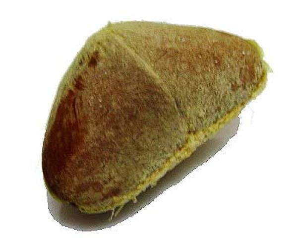 Cascabela thevetia