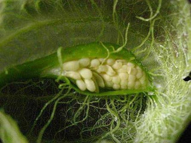 Asclepias physocarpa