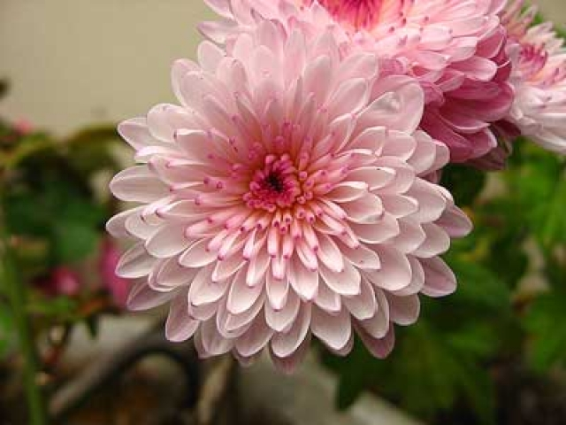 Chrysanthemum x grandiflorum