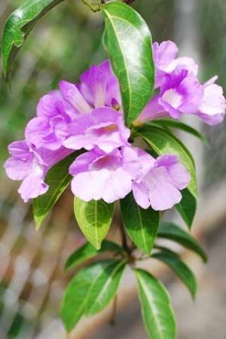 Pseudocalymma alliaceum