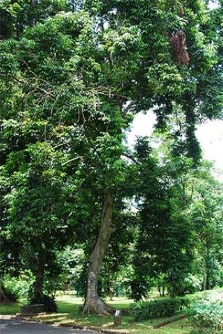 Canarium indicum