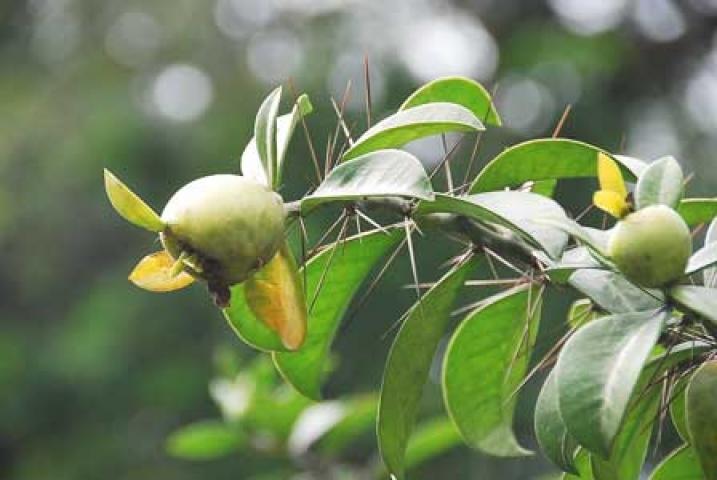 Pereskia grandiflora