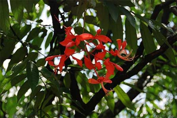 Amherstia nobilis