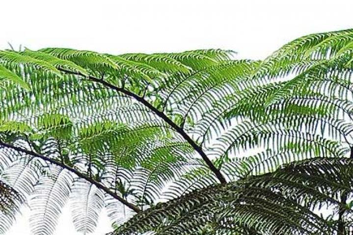 Cyathea pseudo-muelleri