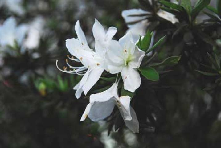 Rhododendron mucronatum