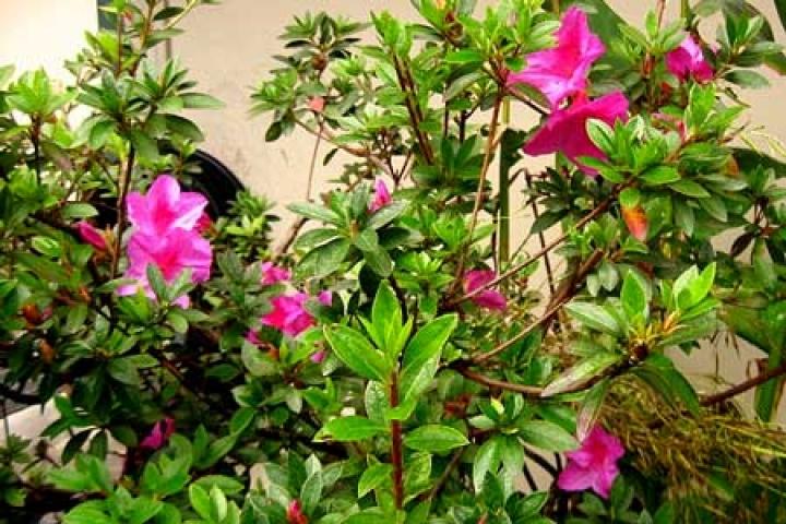 Rhododendron pulchrum