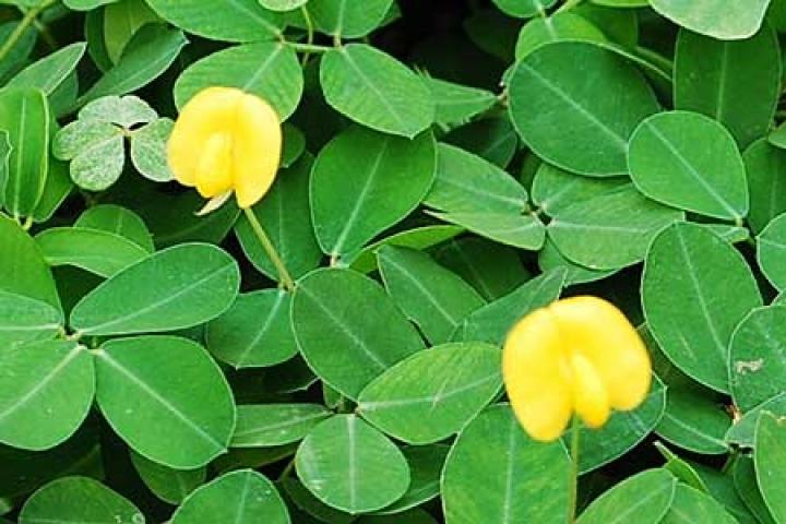 Arachis pintoi