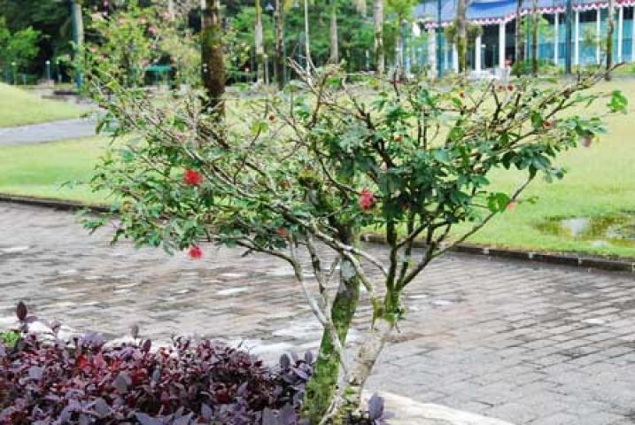 Calliandra emarginata var. minima