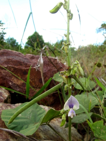 Pueraria phaseoloides