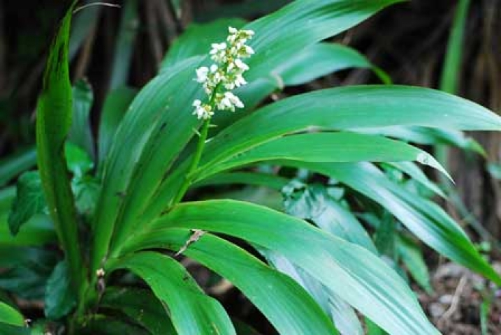 Xiphidium caeruleum