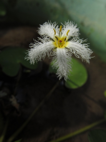 Nymphoides indica