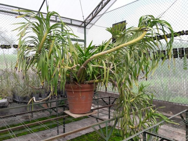 Grammatophyllum speciosum