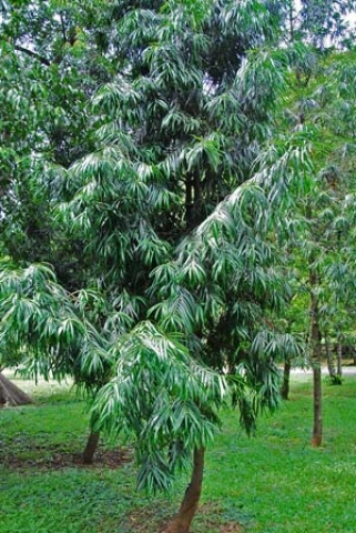 Podocarpus rumphii