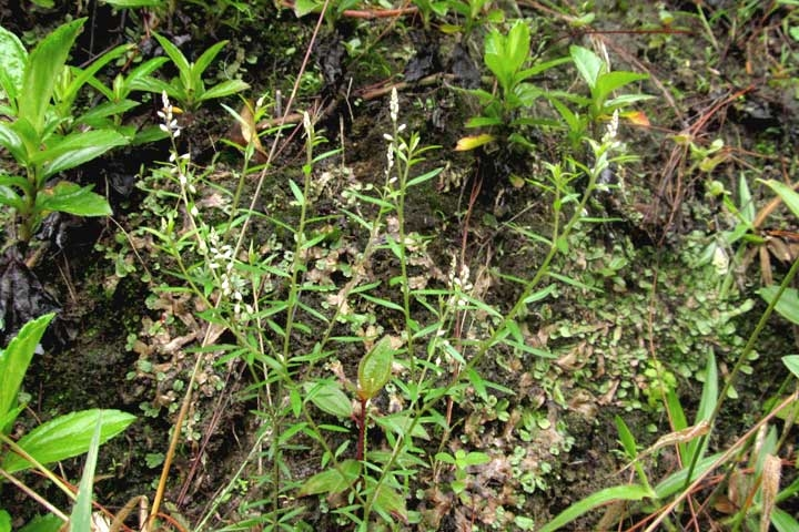 Polygala paniculata