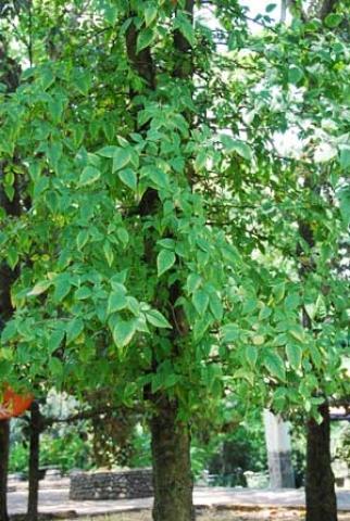 Limonia acidissima