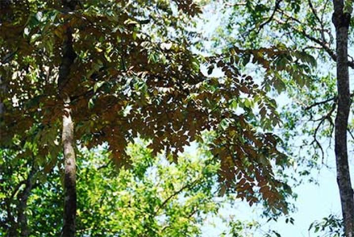 Pterospermum javanicum