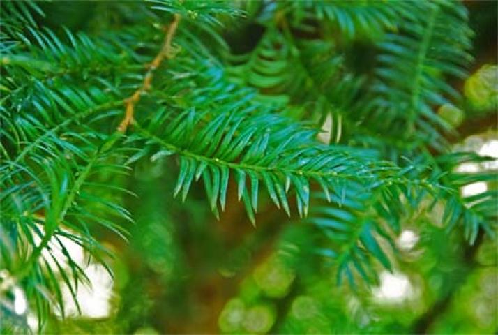 Taxus sumatrana