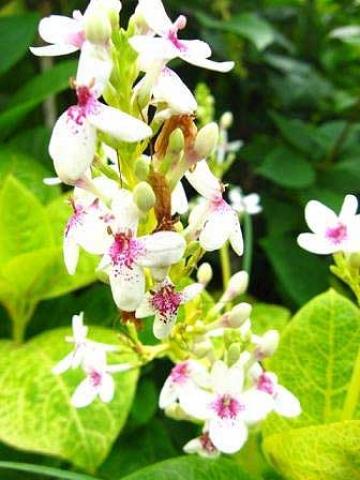 Pseuderanthemum reticulum