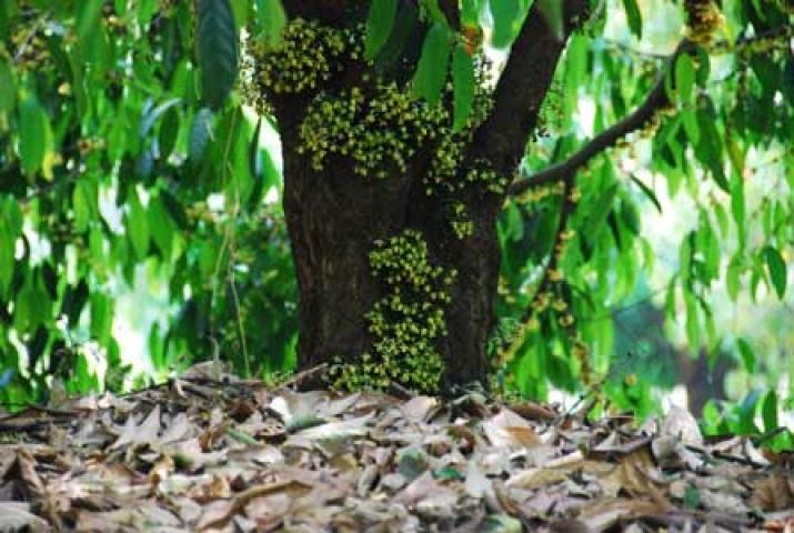 Stelechocarpus burahol