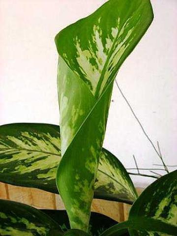 Dieffenbachia amoena