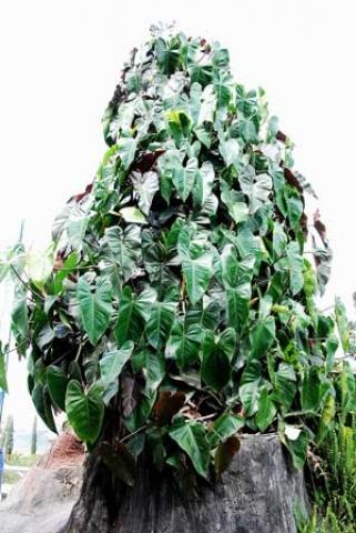 Philodendron sagittifolium