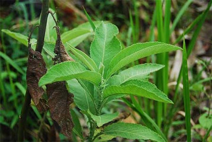 Blumea balsamifera