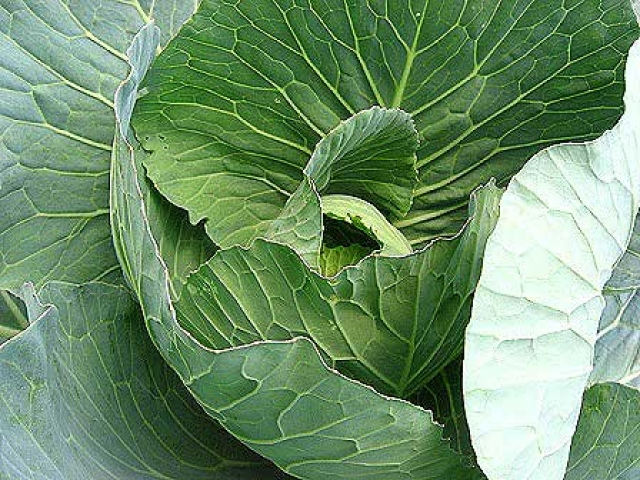Brassica oleracea var. capitata