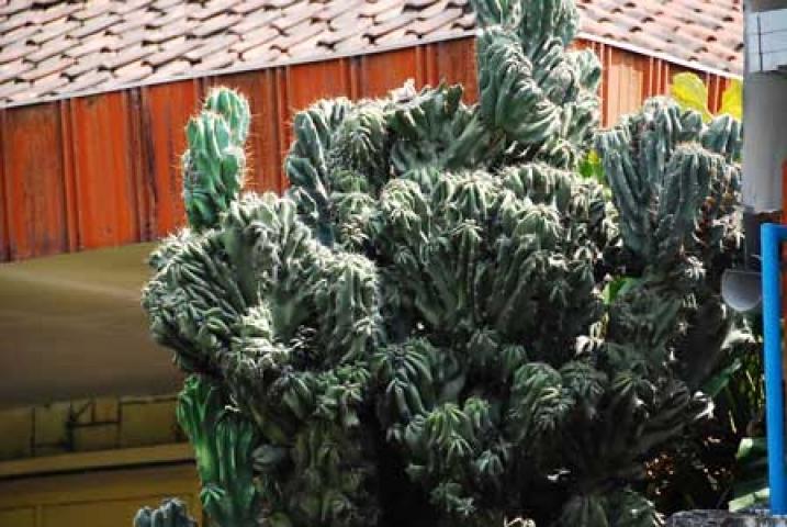 Cereus peruvianus var. monstrosus