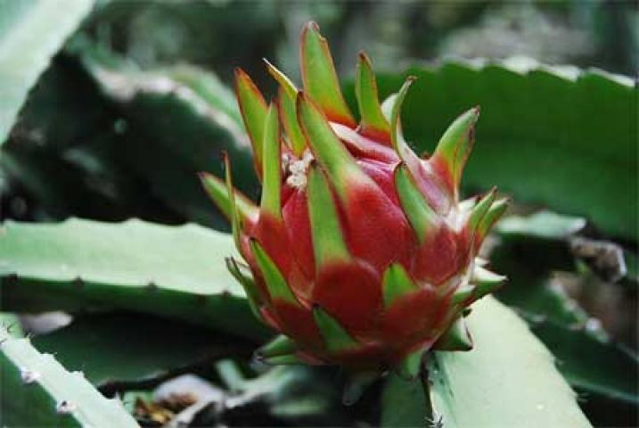 Hylocereus undatus