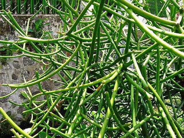 Pedilanthus pringlei