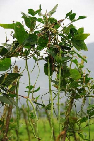 Vigna sinensis