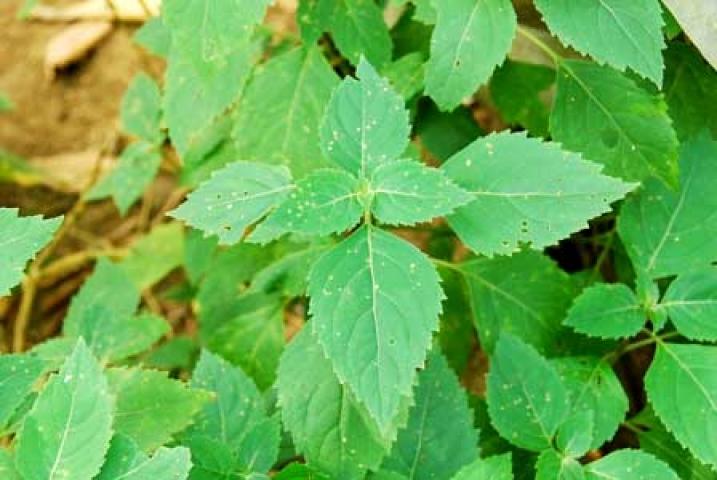 Pogostemon hortensis