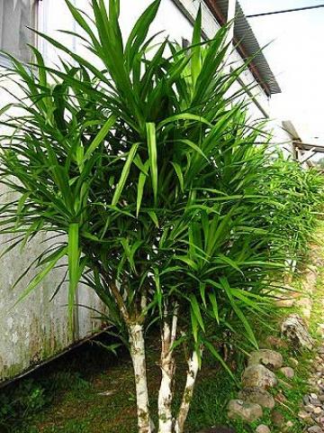 Pleomele angustifolia