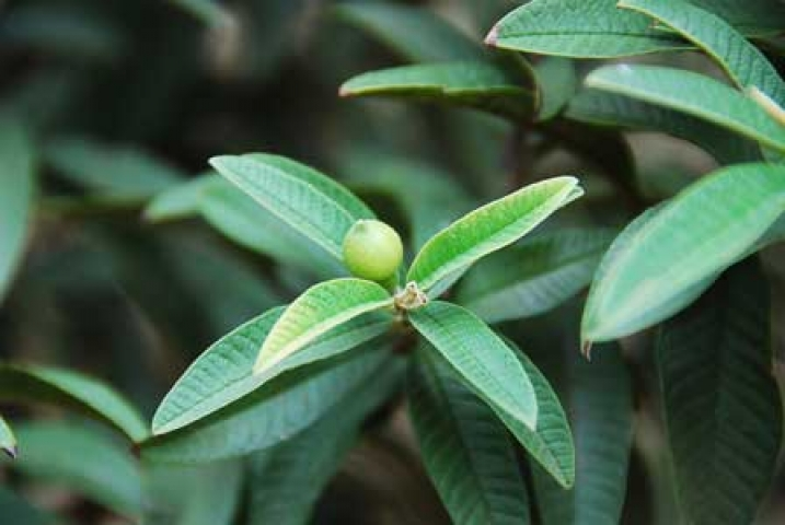 Psidium guajava var. cujavillum