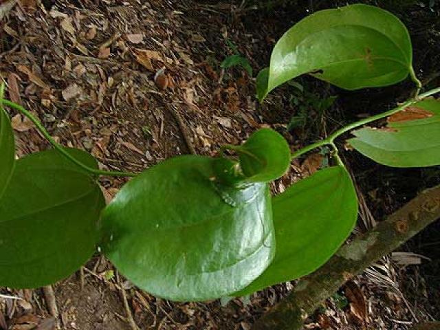 Smilax leucophylla