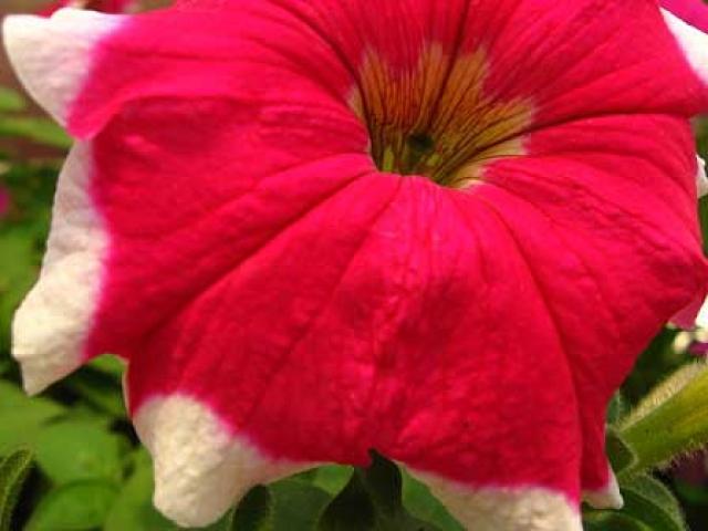 Petunia atkinsiana