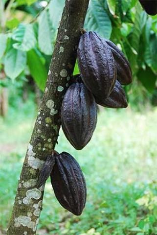 Theobroma cacao