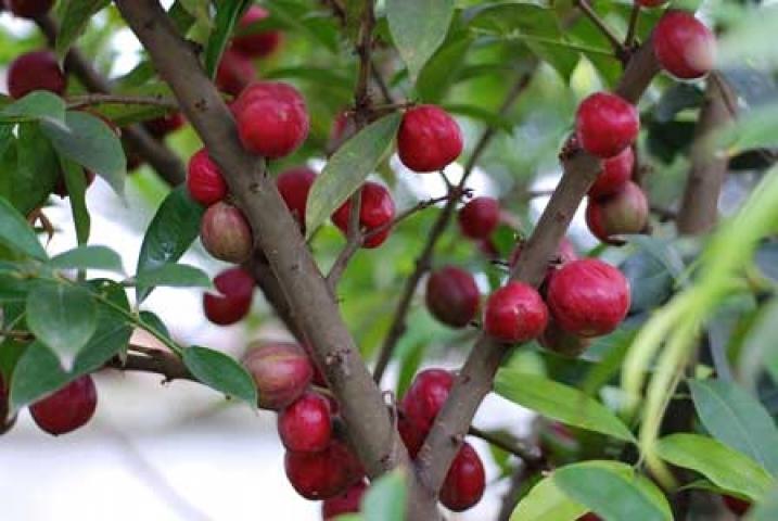 Phaleria macrocarpa