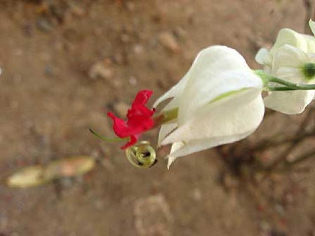 Clerodendrum thomsonae
