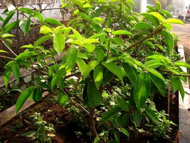 Premna oblongifolia