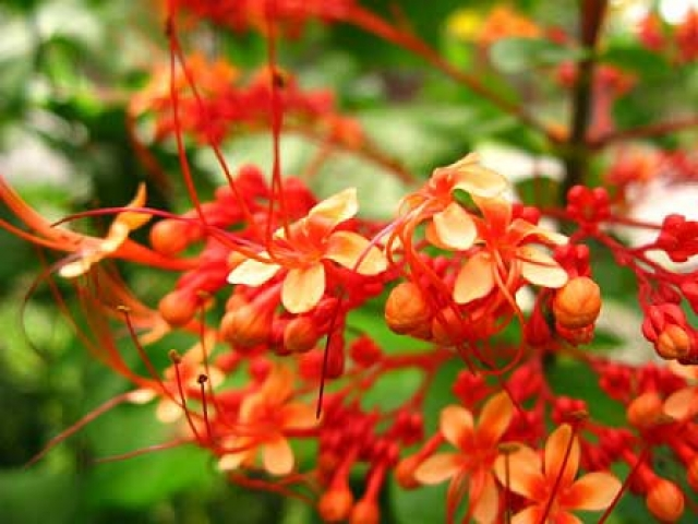 Clerodendron intermedium