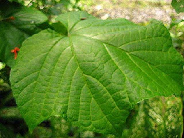 Clerodendron intermedium